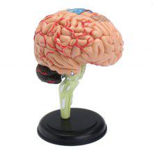 4D Human Brain Model Disassembly Anatomy Science Medical Teaching Prop
