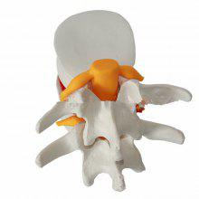 Human Anatomical Cervical Vertebral Spine Model