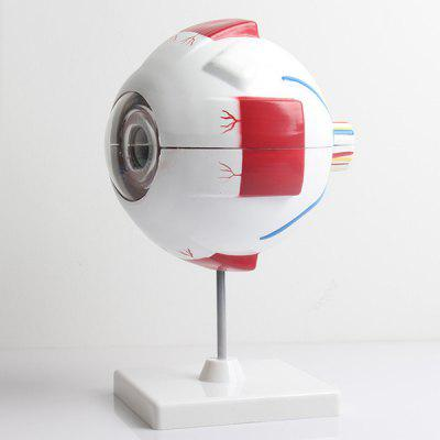 Intelligence Toys Eyeball Structure Model